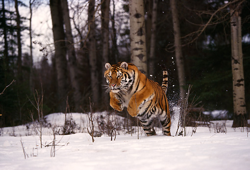 TGR 02 RK0037 01 © Kimball Stock Siberian Tiger Running On Snow Towards Camera By Trees And Twigs Montana