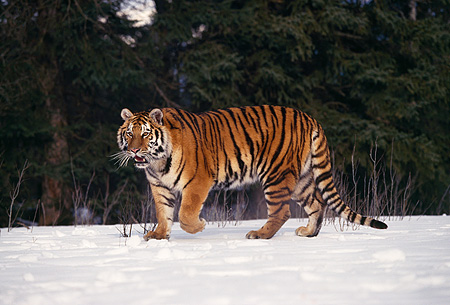 TGR 02 RK0049 09 © Kimball Stock Siberian Tiger Standing On Snow Trees Background
