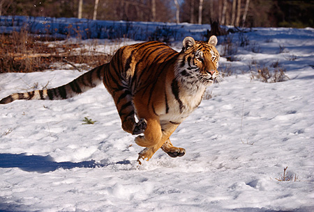 TGR 02 RK0051 01 © Kimball Stock Siberian Tiger Running On Snow