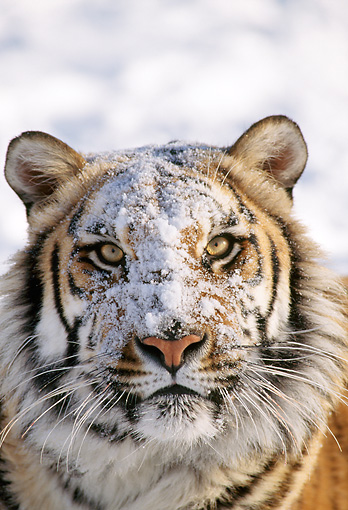 TGR 02 TK0001 01 © Kimball Stock Head On Head Shot Of Tiger In Snow