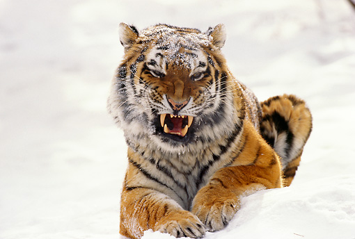TGR 02 TL0003 01 © Kimball Stock Portrait Of Siberian Tiger Laying In Snow Snarling