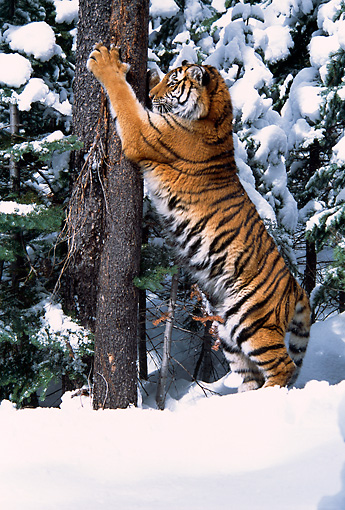 TGR 02 TL0013 01 © Kimball Stock Siberian Tiger Marking Tree With Claws
