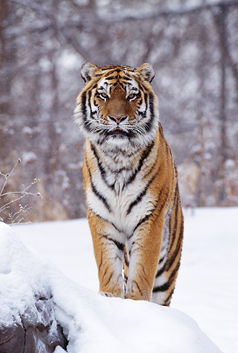 TGR 02 TL0021 01 © Kimball Stock Head On Shot Of Siberian Tiger Standing On Snow-Covered Rock