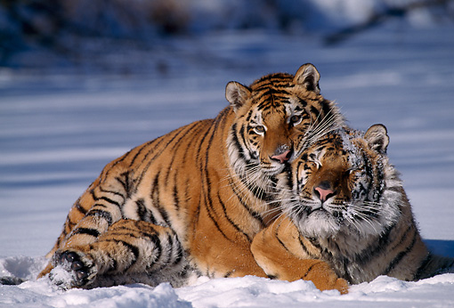 TGR 02 TL0024 01 © Kimball Stock Two Siberian Tigers Mating On Snow