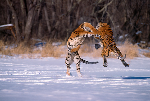 TGR 02 TL0025 01 © Kimball Stock Two Siberian Tigers Fighting On Snow