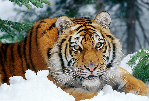 TGR 02 TL0026 01 © Kimball Stock Shoulder Shot Of Siberian Tiger Laying On Snow Under Evergreen Tree