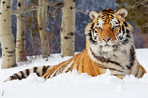 TGR 02 TL0031 01 © Kimball Stock Siberian Tiger Laying On Snow By Trees