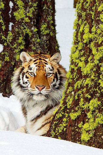 TGR 02 TL0035 01 © Kimball Stock Siberian Tiger Laying On Snow Behind Tree