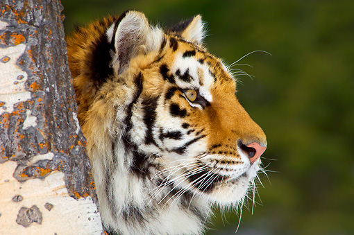 TGR 02 TL0040 01 © Kimball Stock Profile Head Shot Of Siberian Tiger Sitting Behind Tree