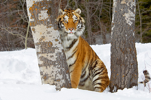 TGR 02 TL0041 01 © Kimball Stock Siberian Tiger Sitting On Snow Between Trees