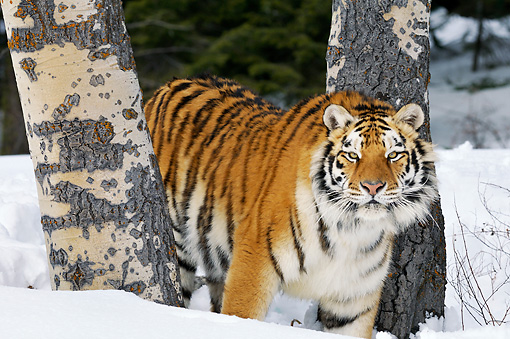 TGR 02 TL0042 01 © Kimball Stock Siberian Tiger Standing On Snow Between Trees