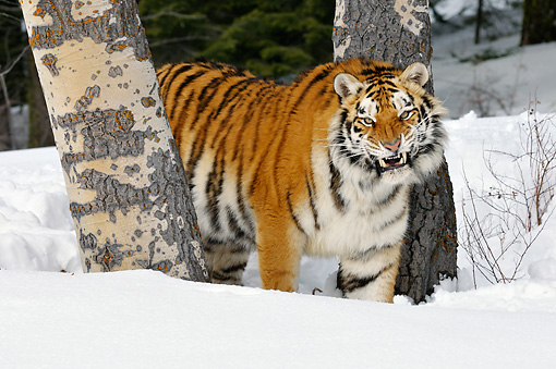 TGR 02 TL0043 01 © Kimball Stock Siberian Tiger Standing On Snow Between Trees