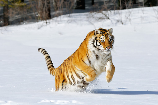 TGR 02 TL0047 01 © Kimball Stock Siberian Tiger Leaping In Deep Snow