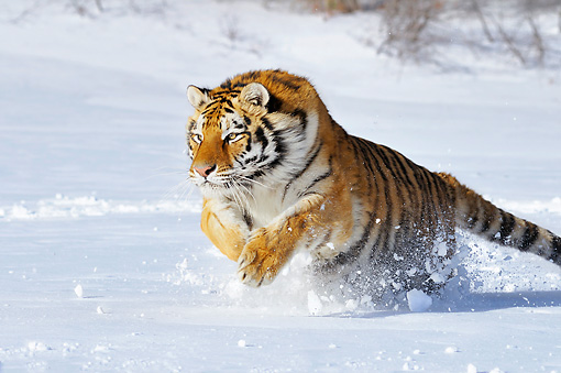 TGR 02 TL0048 01 © Kimball Stock Siberian Tiger Leaping In Deep Snow