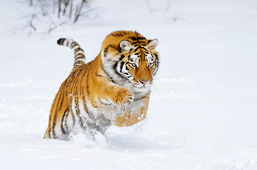 TGR 02 TL0049 01 © Kimball Stock Siberian Tiger Leaping In Deep Snow