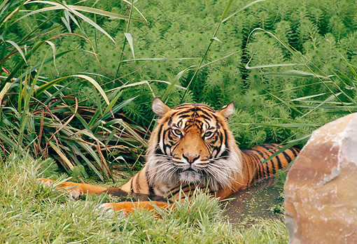 TGR 04 GL0005 01 © Kimball Stock Sumatran Tiger Cooling Off In Pond