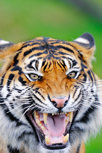 TGR 04 TL0005 01 © Kimball Stock Head Shot Of Sumatran Tiger Snarling