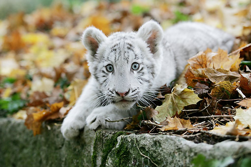 TGR 09 GL0001 01 © Kimball Stock White Tiger Cub Laying In Leaves