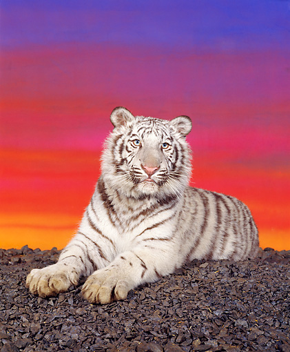 TGR 09 RK0007 09 © Kimball Stock White Bengal Tiger Laying On Black Rocks Sunst Background