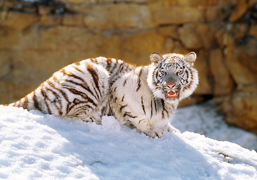 TGR 09 RK0041 03 © Kimball Stock White Tiger Laying On Snow Growling