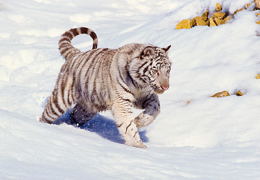 TGR 09 RK0046 04 © Kimball Stock White Bengal Tiger Running On Snow