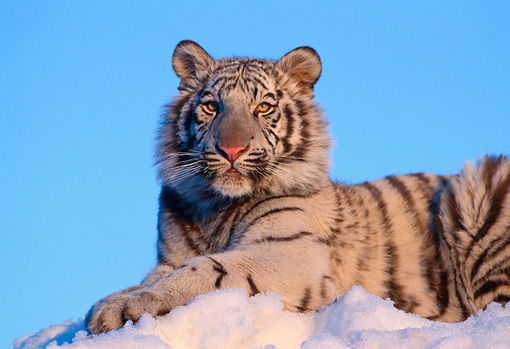 TGR 09 RK0059 06 © Kimball Stock Head Shot Of White Tiger Laying On Snow At Dusk