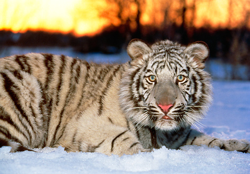 TGR 09 RK0062 04 © Kimball Stock White Tiger Laying In Snow By Trees Sunset Background