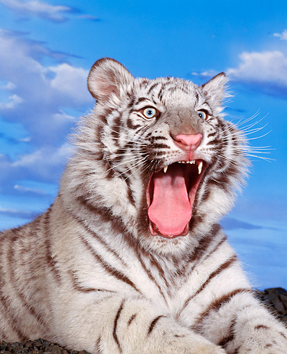 TGR 09 RK0068 01 © Kimball Stock Head Shot Of White Tiger Laying With Mouth Open Cloudy Blue Sky