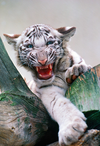 TGR 09 RK0112 11 © Kimball Stock White Bengal Tiger Cub Snarling In Tree