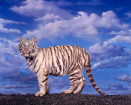 TGR 09 RK0011 02 © Kimball Stock White Bengal Tiger On Black Rocks Blue Sky Clouds Background
