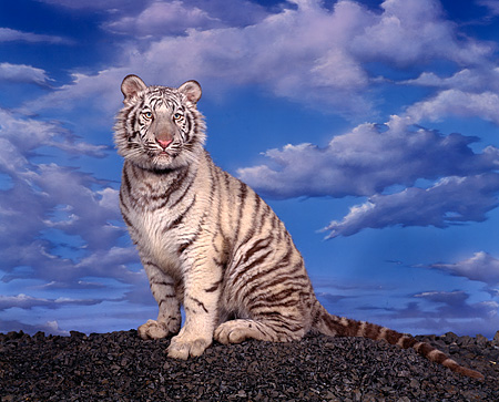 TGR 09 RK0012 04 © Kimball Stock White Bengal Tiger Sitting On Black Rocks Blue Cloudy Sky Background