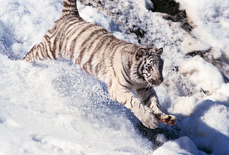 TGR 09 RK0024 02 © Kimball Stock Close Up Of White Tiger Running Down Snow Mountain