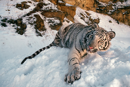 TGR 09 RK0051 02 © Kimball Stock White Tiger Laying In Snow By Rocks Dusk