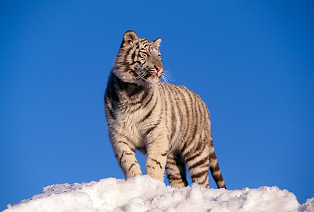 TGR 09 RK0057 02 © Kimball Stock White Tiger Standing On Top Of Snow Hill Blue Skies