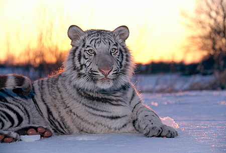 TGR 09 RK0062 06 © Kimball Stock White Tiger Laying In Snow By Trees Sunset Background
