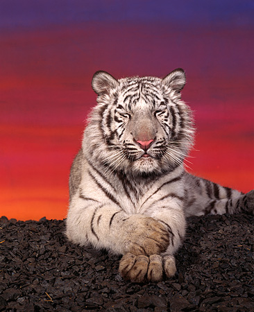 TGR 09 RK0077 01 © Kimball Stock White Tiger Laying Facing Camera On Rocks Eyes Closed Sunset Background