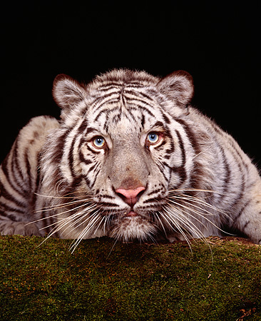 TGR 09 RK0090 01 © Kimball Stock White Tiger Laying Head Low Facing Camera On Grass Studio Background