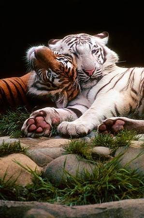 TGR 09 RK0166 01 © Kimball Stock White and Copper Bengal Tigers Snuggling By Rocks
