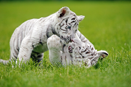 TGR 10 GL0001 01 © Kimball Stock White Bengal Tiger Cubs Playing On Grass
