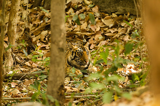 TGR 10 MC0002 01 © Kimball Stock Bengal Tiger Cub Resting On Forest Floor In Bandhavgarth National Park, India