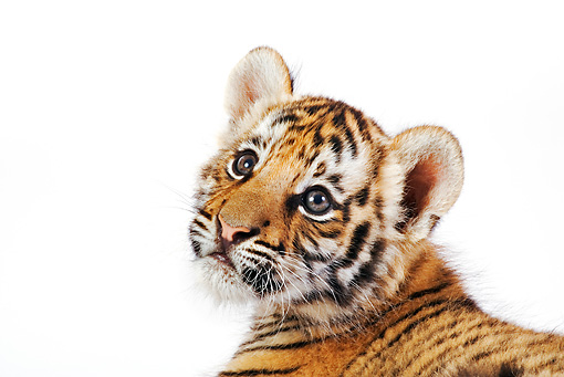 TGR 10 MH0005 01 © Kimball Stock Head Shot Of Tiger Cub Looking Up On White Seamless