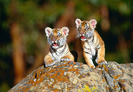 TGR 10 RK0030 11 © Kimball Stock Bengal Tiger Cubs On Top Of Rock Facing Camera