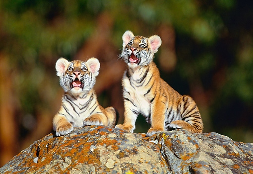 TGR 10 RK0030 27 © Kimball Stock Bengal Tiger Cubs On Top Of Rock Facing Camera