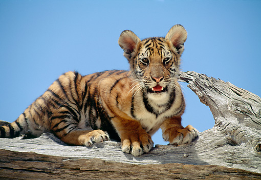 TGR 10 RK0105 01 © Kimball Stock Bengal Tiger Cub Sitting On End Of Broken Tree Branch Blue Sky