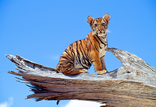 TGR 10 RK0105 09 © Kimball Stock Bengal Tiger Cub Sitting On End Of Broken Tree Branch Blue Sky