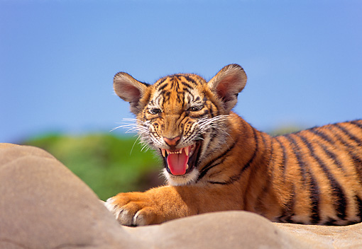 TGR 10 RK0115 16 © Kimball Stock Head Shot Of Bengal Tiger Cub On Rock Blue Sky