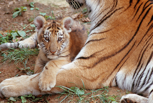 TGR 10 GR0001 01 © Kimball Stock Tiger Cub Laying In Mother's Arms