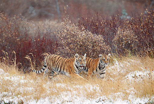 TGR 10 KH0001 01 © Kimball Stock Siberian Tiger Cubs Walking In Field With Snow