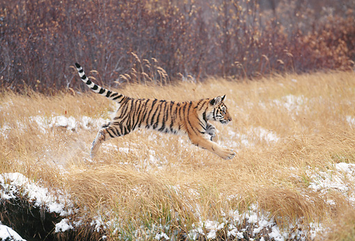 TGR 10 KH0002 01 © Kimball Stock Siberian Tiger Cub Running In Field With Snow