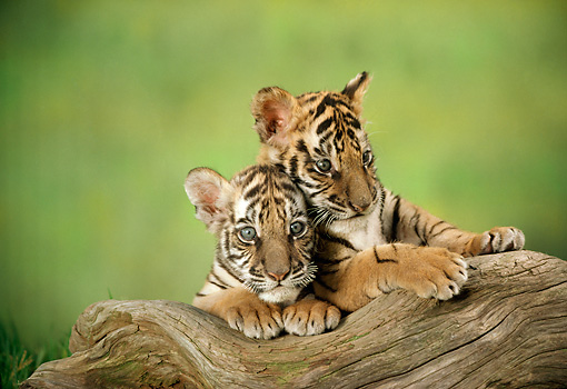 TGR 10 RC0003 01 © Kimball Stock Head Shot Of Two Tiger Cubs Resting On Log Studio